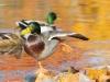 Sayre birds 3 copy